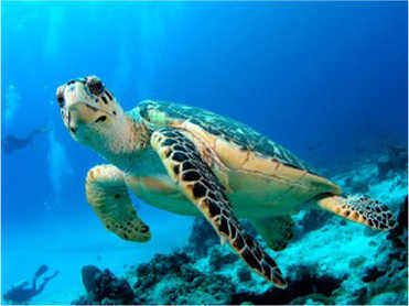 Hawksbill turtle in turquoise waters